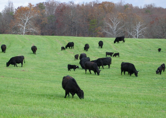 Angus cows grazing in green pasture.